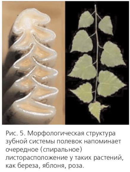 Рис. 5. Морфологическая структура зубной системы полевок напоминает очередное (спиральное) листорасположение у таких растений, как береза, яблоня, роза.