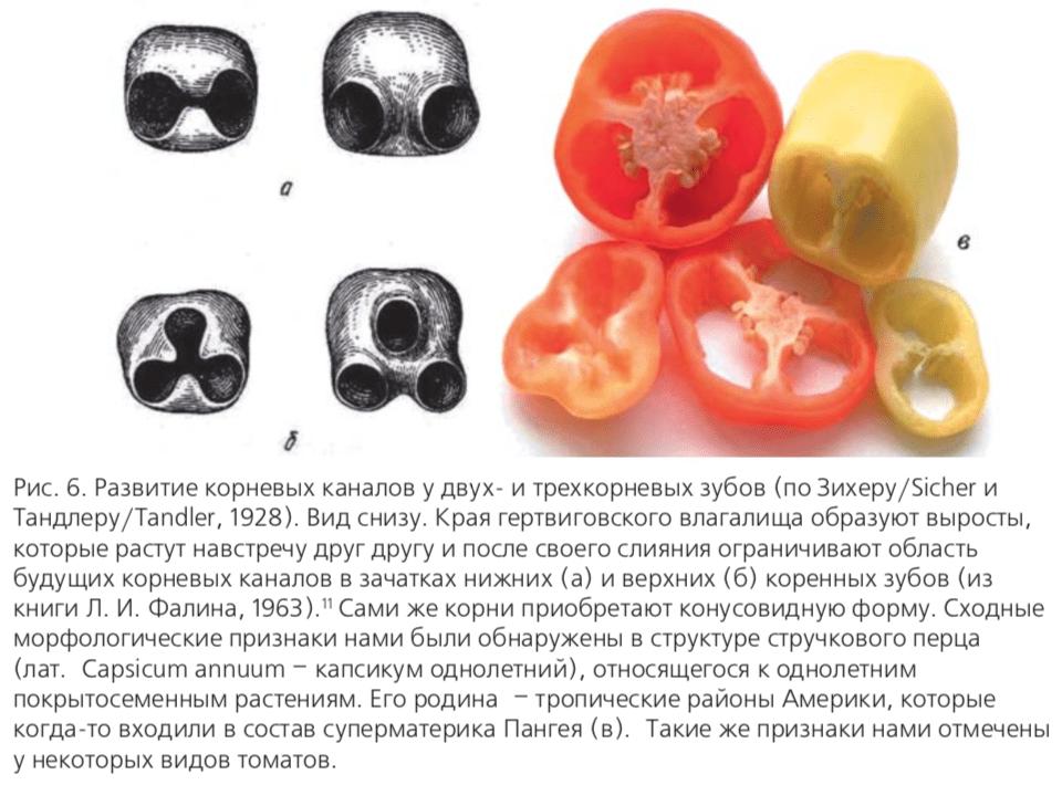 Рис. 6. Развитие корневых каналов у двух и трехкорневых зубов (по Зихеру/Sicher и Тандлеру/Tandler, 1928).